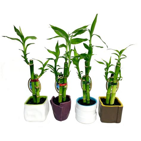 in door plants pot video three four plants argements size c dracaena lucky bamboo bunnings warehouse