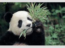 The average panda eats somewhere between 20 and 40 pounds ... Koalas Habitat And Diet