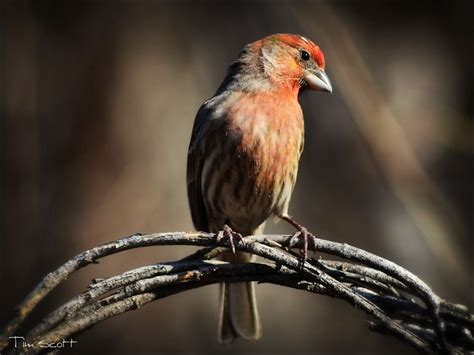 common house finch common house finch no1358 by digipainter on deviantart