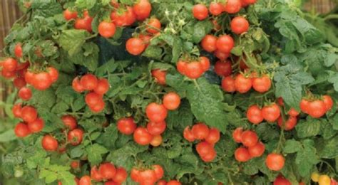 best tomatoes for container gardening container gardening farm to table freshness even in small