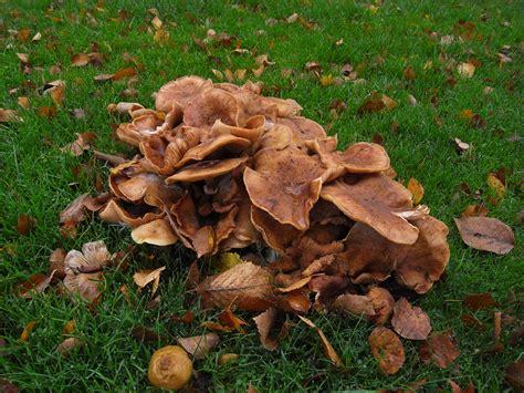 Braune Pilze Im Garten by Honigpilz