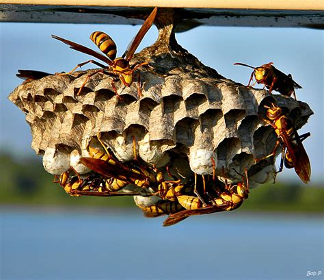 What Of Bees Make Paper Nests - paper wasps apiary inspection service tais