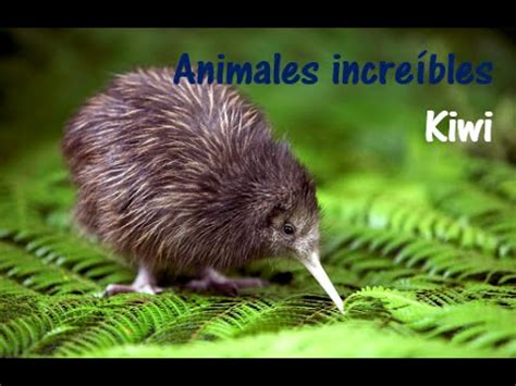 imagenes del animal kiwi animales incre 237 bles kiwi youtube