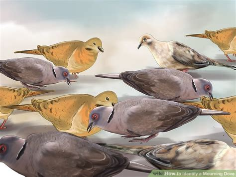 how to identify a mourning dove 13 steps with pictures