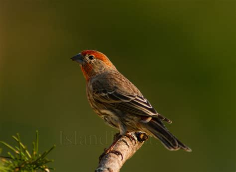 male house finch male house finch finch photo from cortes island bc canada island light photography
