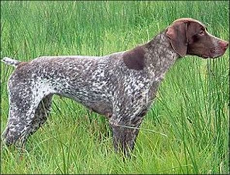french setter dog breed 1000 images about braque francais on pinterest female