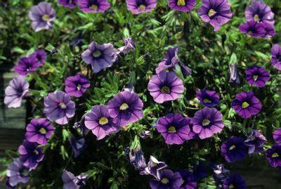 calibrachoa  hybrida lirica showers blue million bells