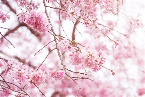 design flower branch floral pink branches mural for wall decor