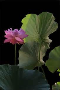 Lotus Flower Leaves Pink Lotus Flower And Leaves Dd0a8204 1000 Pink Lotus