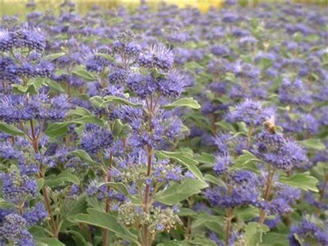 Arbuste De Haie 1207 by Caryopteris X Clandonensis Grand Bleu 174 Barbe Bleue Arbuste