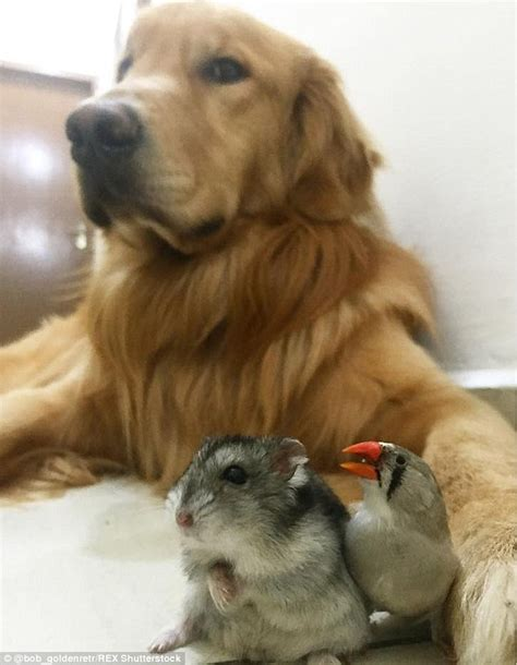protective golden retriever bob the golden retriever snuggling with hamster and bird friends daily