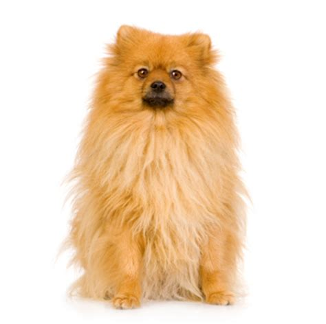 do pomeranians bark a lot pomeranian