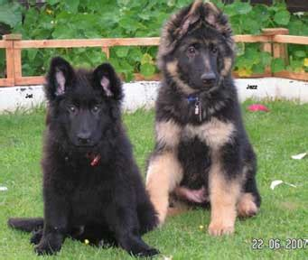 raising german shepherd puppies raising 2 german shepherd puppies from the same litter