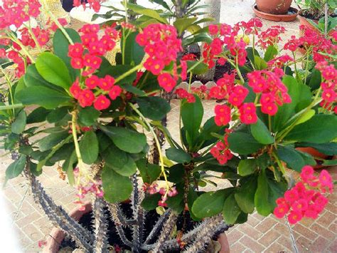 merawat bunga euphorbia merawat tanaman