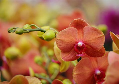 fall in love with a salmon colored orchid