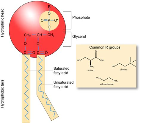 diagram of phospholipid lipids biology libretexts