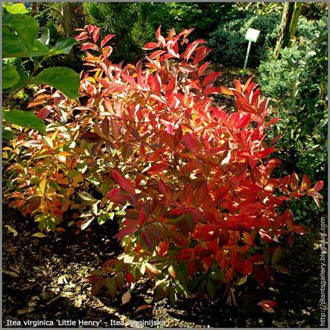 itea plant itea virginica little henry autumn itea wirginijska little henry cool