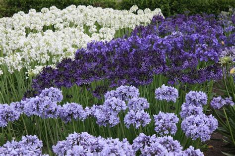 for next year s gardens agapanthus they come in some