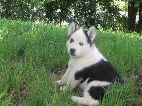 husky puppies for sale in missouri husky puppies for sale near me in missouri