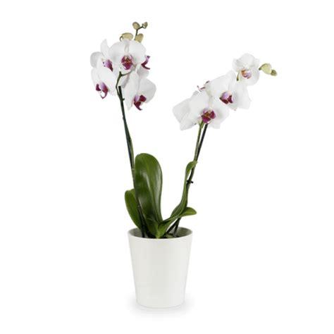 far fiorire orchidee fioritura delle orchidee come farle fiorire e rifiorire