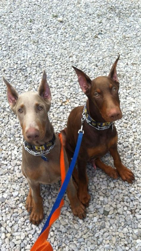 doberman colors the 25 best doberman colors ideas on doberman
