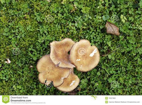 pilze im garten hund chignons de couche dans la pelouse photographie stock