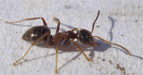 mittel gegen ameisen in der wohnung ameisen vertreiben ohne gift 10 nat 252 rliche hausmittel