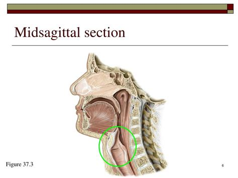 midsagittal section ppt the phonatory system powerpoint presentation id 172654