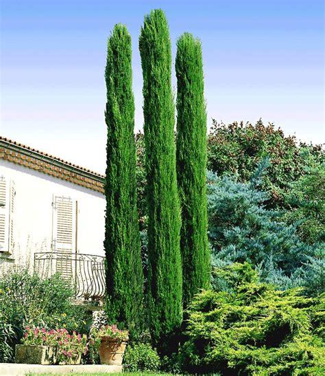 zypressen im garten echte toskana s 228 ulen zypresse heckenpflanzen bei