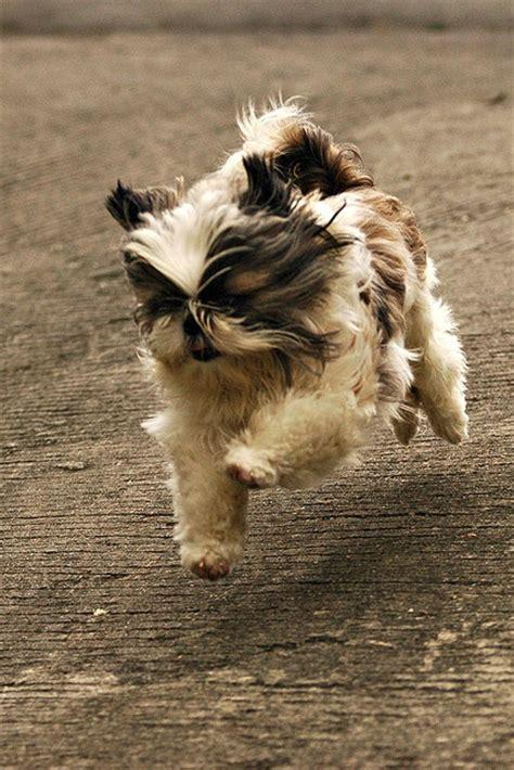 what is a shih tzu look like looks like a shih tzu my puppy is a shih tzu tzus photos puppys and