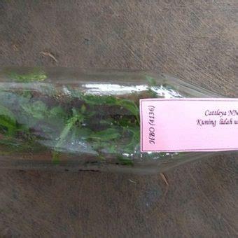 Jual Bibit Anggrek Cattleya bibit anggrek botol cattleya 20 25 pcs jual tanaman