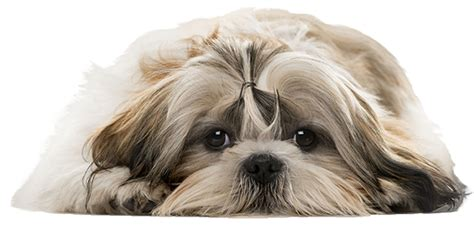 shih tzu png shih tzu quot sad shih tzu quot nail now 50 more free patch puppy