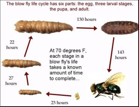 blo fly murda lesson 4 forensic entomology magic of forensic science