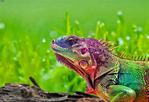 colorful chameleon 19 colorful chameleon wallpapers hd tapandaola111