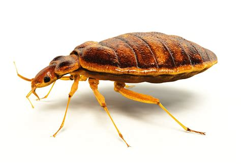 Is It Possible To Only One Bed Bug by Bedbug Pandemic A Serious Threat To Preppers