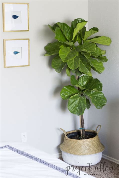 how to keep a fiddle leaf fig alive and happy fiddle how to keep a fiddle leaf fig alive project allen designs