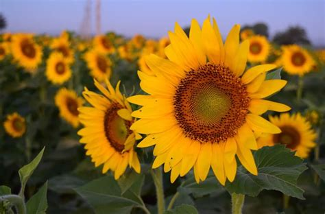Field of Sunflowers outside of Chambersburg   Ship Saves