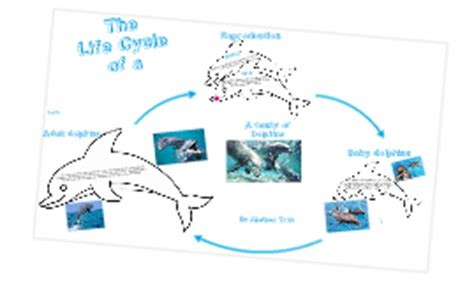 bottlenose dolphin cycle diagram cycle of a dolphin 2 by chelsea on prezi