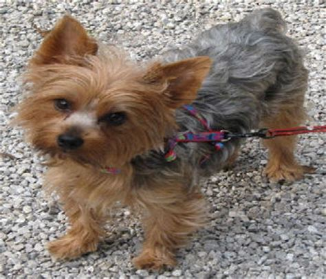yorkie rescue va picture suggestion for rescue teacup yorkies