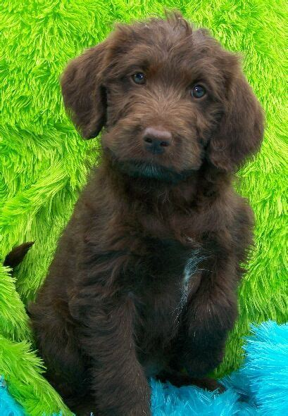 chocolate mini labradoodle puppies for sale 25 best ideas about labradoodle puppies on baby dogs labradoodles