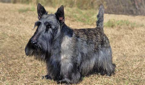 scottish dogs scottish terrier breed information