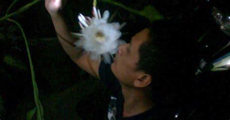 Bibit Bunga Wijaya Kusuma indahnya bunga wijaya kusuma warta unik yang seru