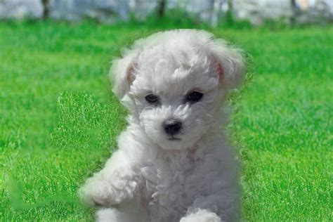 bichon puppies bichon frise breed infromation pictures recognition etc memes