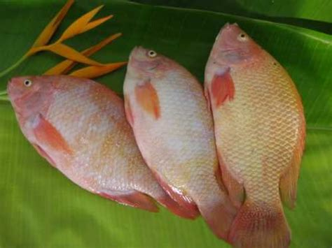 Jumbo Resty tilapia products indonesia tilapia supplier