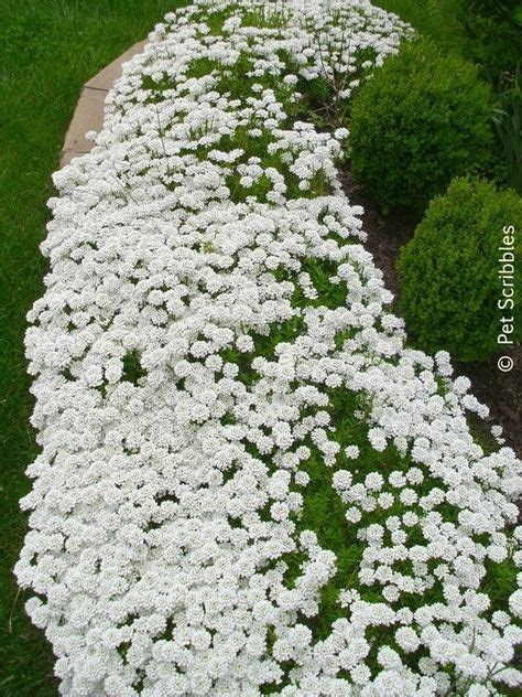 72 best images about ground covers on pinterest sun