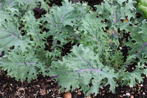 Kale Garden by Kale Pod Easy Edible Gardening