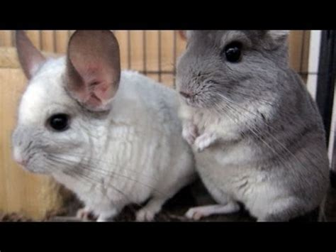 chinchilla care tip 2 keep them cool youtube