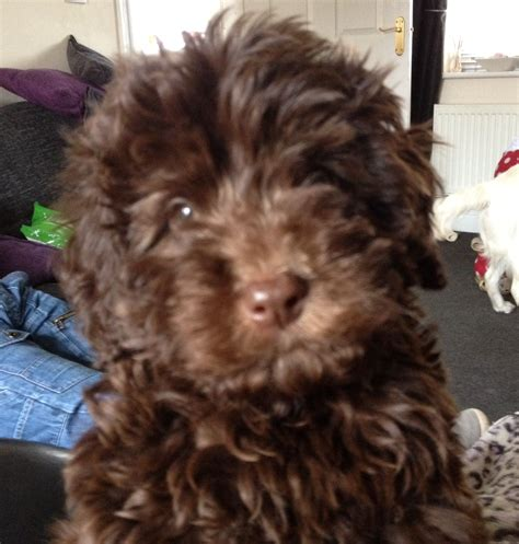 cavapoo rescue puppies for sale gorgeous chocolate cavapoo puppy for sale bradford west pets4homes