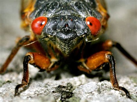 17 in years 17 years in the this s cicada generates early buzz cosmic log