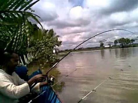 Bibit Udang Galah Air Tawar trip air tawar memancing udang galah di muara kembang